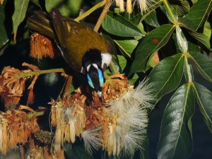 Blue flash honey eater