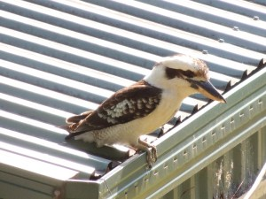 Kookaburra ready for a dip in the pool