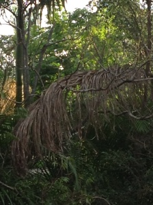 Dead palm fronds stuck in trees waiting to fall