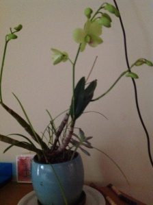 Pale green orchid rescued before the downpour.