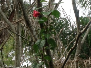 Red hibiscus bud framed by dead palm fronds.