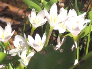 Autumn Crocus white durigf cyclone Oswald  2