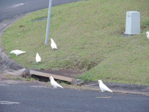 Cockatoo 26 July (Copy)