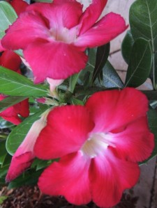 Desert Rose 5 Jan 2013 (Copy)
