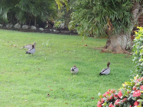 Two pairs of wood ducks wandering around the garden.