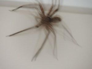 One huge Huntsman spider!