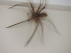 One huge Huntsman spider!