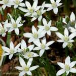 star of bethlehem plantjpg