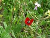 Wildflowers, Jerash