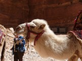 The taxi of the desert, camel rides at Petra