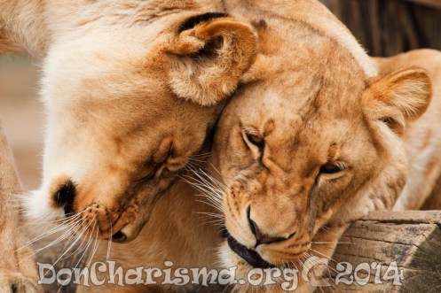 lions-africa-17344-DonCharisma.org-1024LE